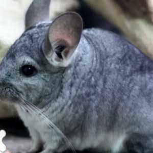Chinchilla: paleta odcieni